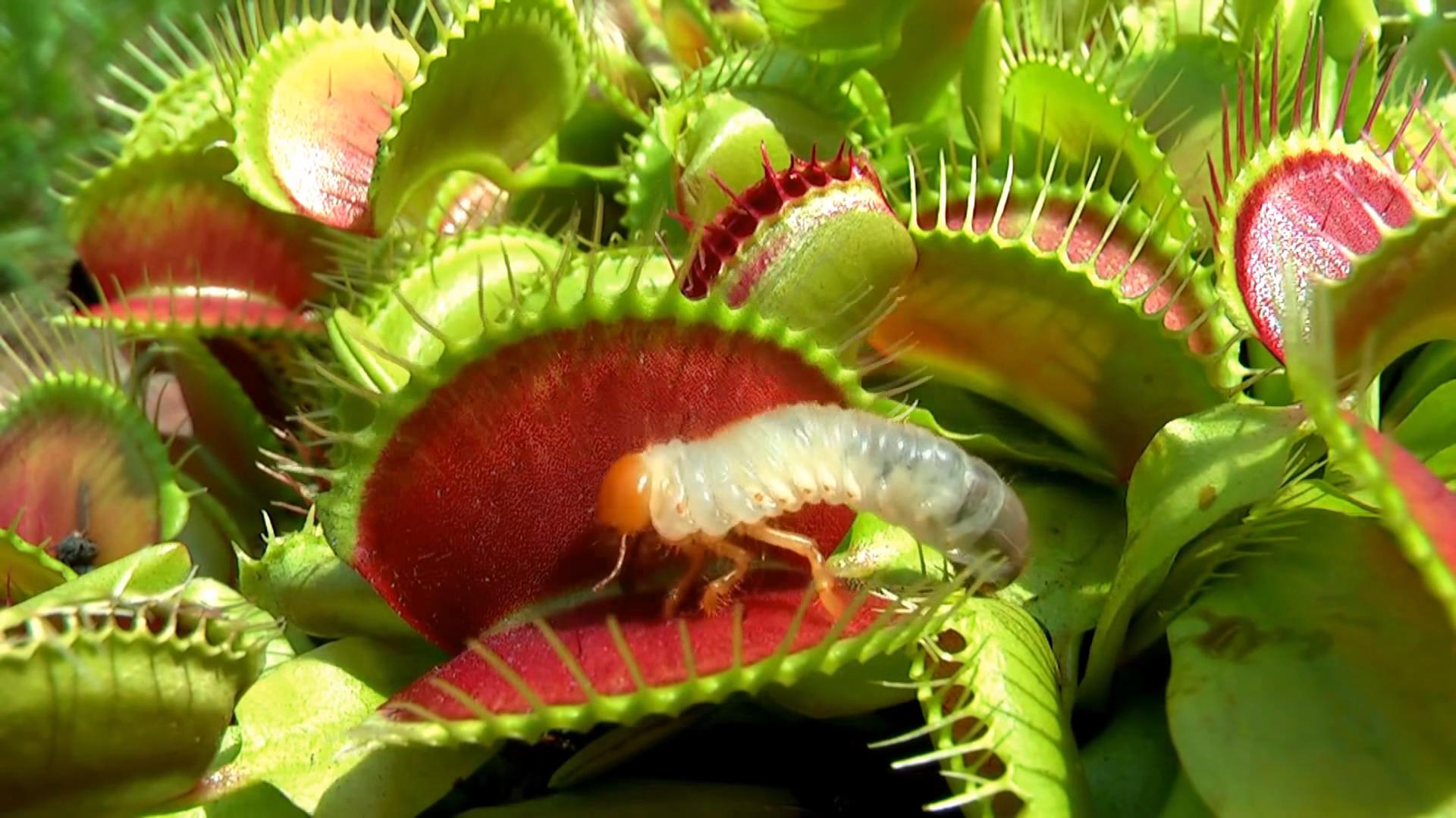 Фото цветка который питается насекомыми